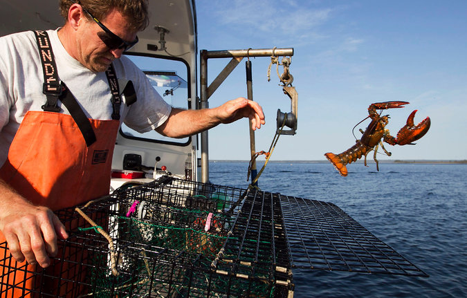 A lobsterman threw back a lobster near Mount Desert, Me. in 2012. The catch in the area has reached record highs. Credit Robert F Bukaty/Associated Press